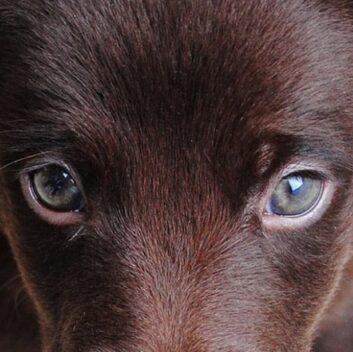 Dog-Ectopic-Eyelashes-min