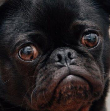 Soft-palate-in-brachycephalic-dog-min